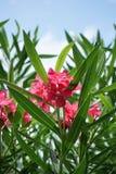 Pink Nerium oleander flower. In nature garden Stock Photography