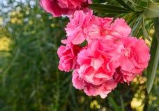 Pink Nerium oleander flower Stock Photography