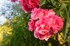 Pink Nerium oleander flower. On tree in the garden Stock Photography