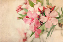 Pink nerium oleander flowers with a vintage texture Royalty Free Stock Photos