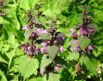 Pink nettle blooms. Nettle plant with pink blooms, Lithuania stock image