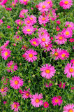 Pink New York Aster Flowers Stock Image