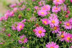 Pink New York Aster Flowers Stock Photos