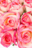Pink nicole rose Royalty Free Stock Photo