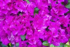 Pink nougainvillea glabra choisy Royalty Free Stock Photos