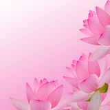 Pink nuphar flower, water-lily, pond-lily, spatterdock, Nelumbo nucifera, also known as Indian lotus, sacred lotus Stock Photo