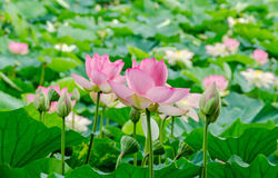Pink nuphar flowers, green field on lake, water-lily, pond-lily, spatterdock, Nelumbo nucifera, also known as Indian lotus. Sacred lotus, bean of India, lotus Stock Image