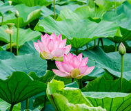 Pink nuphar flowers, green field on lake, water-lily, pond-lily, spatterdock, Nelumbo nucifera, also known as Indian lotus Stock Image