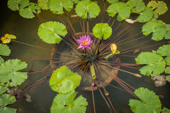 Pink Nymphaea Caerulea flower and green leaves in flowerpot in a Royalty Free Stock Photos