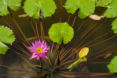 Pink Nymphaea Caerulea flower and green leaves in flowerpot in a Royalty Free Stock Images