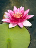 Pink Nymphaea Stock Image