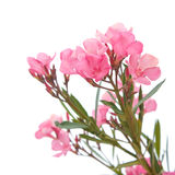 Pink oleander. Bright pink oleander flowers, isolated Royalty Free Stock Photography