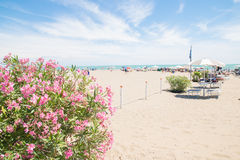 Pink oleander and beach on background. Royalty Free Stock Photo