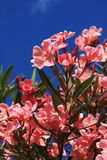 Pink oleander blooms. Calabria, Italy Royalty Free Stock Images