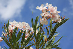 Pink oleander blooms. Calabria, Italy Royalty Free Stock Photography