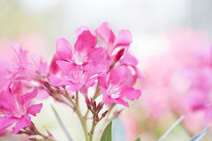 Pink oleander Royalty Free Stock Images