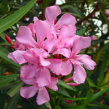 Pink oleander bouquet closeup Stock Photos