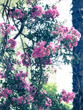 Pink oleander Bush as the background of retro Royalty Free Stock Images