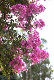 Pink oleander Bush as the background of retro Royalty Free Stock Photo