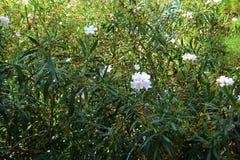 Pink Oleander stock photos