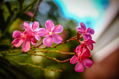 Pink oleander Royalty Free Stock Photos