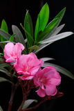 Pink oleander flower. With leaves in black background Stock Photo