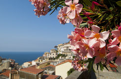 Pink oleander flower. Many pink flower with city and sea in background Royalty Free Stock Images