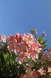 Pink oleander flower Stock Photo