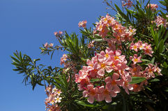 Pink oleander flower Royalty Free Stock Photo
