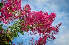Pink oleander flower Royalty Free Stock Images