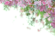 Pink oleander flower background Royalty Free Stock Photography