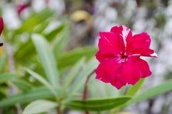Oleander. Pink Oleander flower on green leaves background Royalty Free Stock Photography