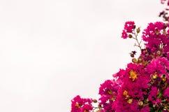 Pink oleander flower Stock Photos