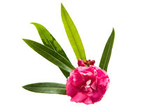 Pink oleander flower isolated Stock Image