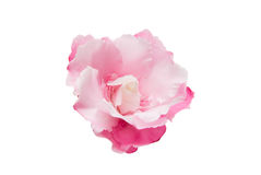 Pink oleander flower isolated Stock Photos
