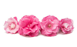 Pink oleander flower isolated Stock Photography