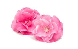 Pink oleander flower isolated Royalty Free Stock Images