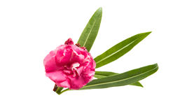 Pink oleander flower isolated Royalty Free Stock Photos