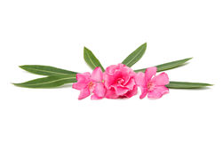 Pink oleander flower isolated Stock Images