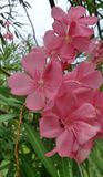 Pink Oleander flower shrup background Stock Image