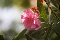 Pink oleander flower on the tree with soft sunlight in the morning royalty free stock image
