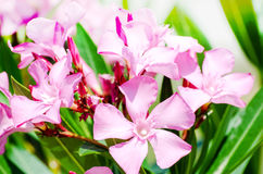 Pink oleander flowers Royalty Free Stock Images