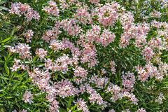 Pink oleander flowers Royalty Free Stock Images