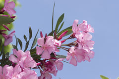 Pink oleander flowers Royalty Free Stock Image