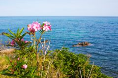 Pink oleander flowers and the blue sea Stock Images