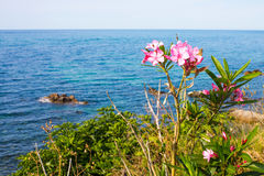 Pink oleander flowers and the blue sea Stock Photos
