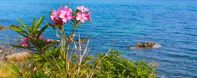 Pink oleander flowers and the blue sea Royalty Free Stock Photography