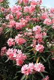 Pink Oleander flowers Stock Photo