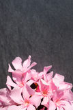 Pink oleander flowers close up on black stone background Stock Photos