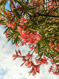 Pink oleander flowers Royalty Free Stock Photography